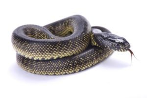 Mexican-Black-Kingsnake-Western-Black-Kingsnake