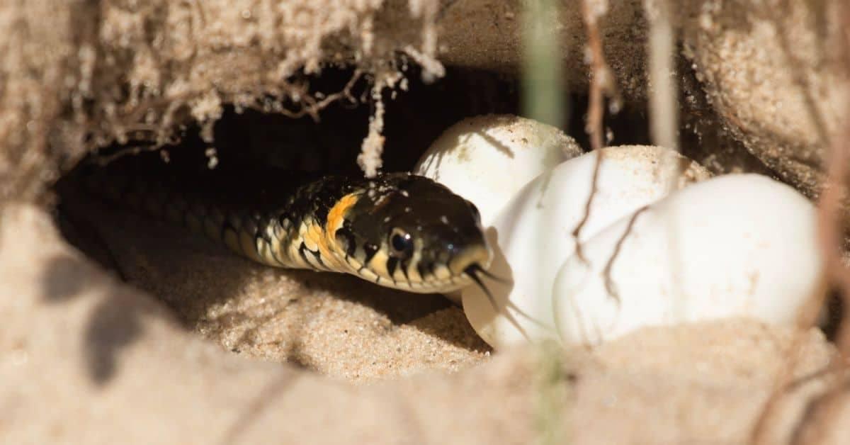 Snake_breeding