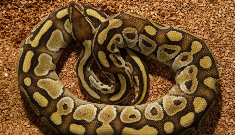 Best Substrate For Ball Python