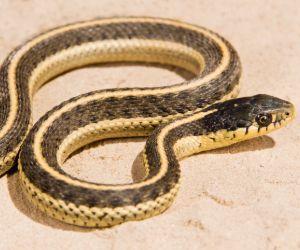 Coast Garter Snake (Thamnophis Elegans Terrestris)