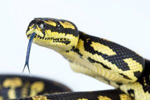 Jungle Carpet python with tongue out