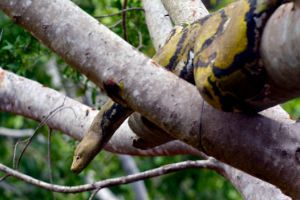 Jungle carpet python in tree