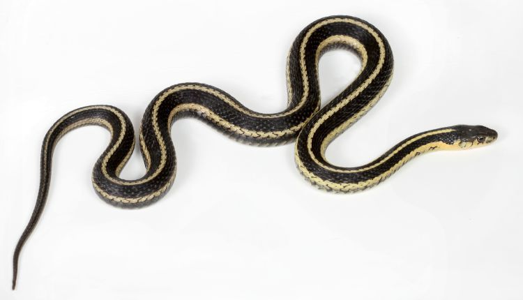 North American common Garter Snake