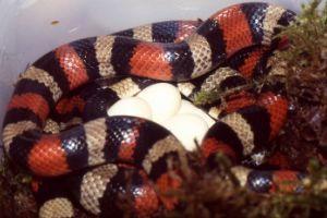 Pueblan Milk Snake (Campbell's Milk Snake) [VIDEO] - SnakeTracks com