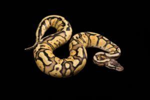 ball-python-Python-regius