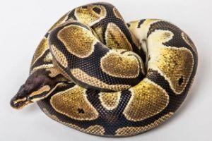 Ball-Python
