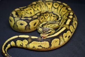 Bongo Pastel Ball Python