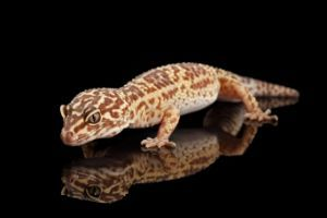 Halloween Mask Leopard Gecko.Leopard Gecko Morphs Explained There S A Video Snaketracks Com