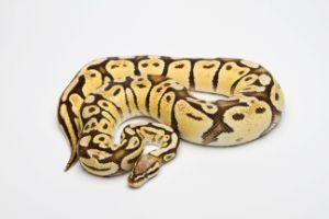 Pastel-Ball-Python