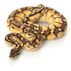 26 Of The Coolest Ball Python Morphs Available Today