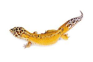Reverse Stripe Leopard Gecko