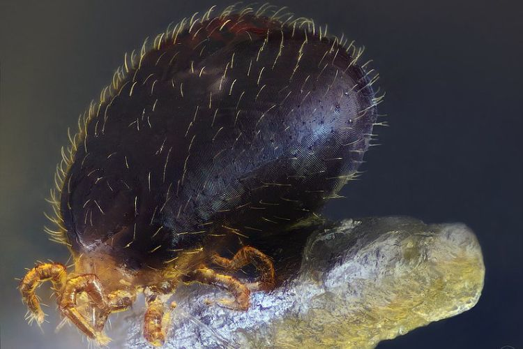 Snake Mite (Ophionyssus natricis)