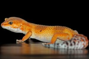 Leopard Gecko Morphs Explained [There's a Video