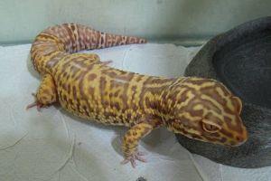 Tremper Albino Leopard gecko