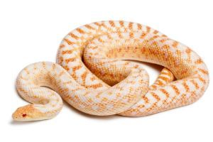 Albino Pacific Gopher Snake