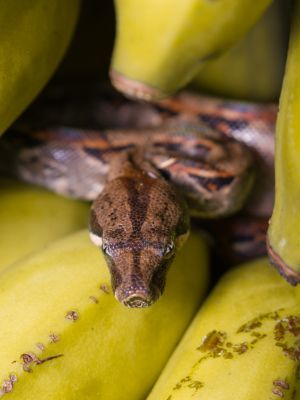 Boa Constrictor on bananas