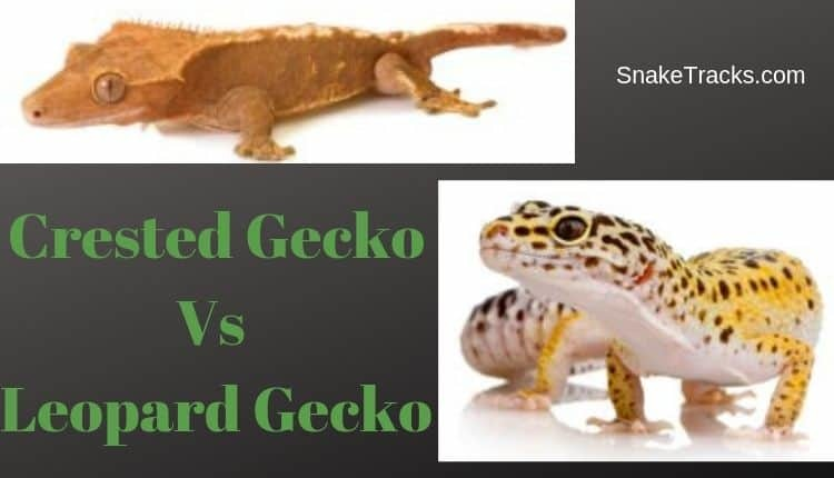 Crested Gecko Vs Leopard Gecko