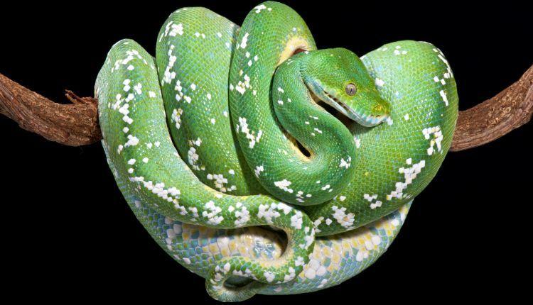 Green Tree Python on branch