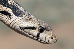 Head of Gopher Snake