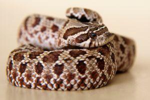 Hognose snake curled up