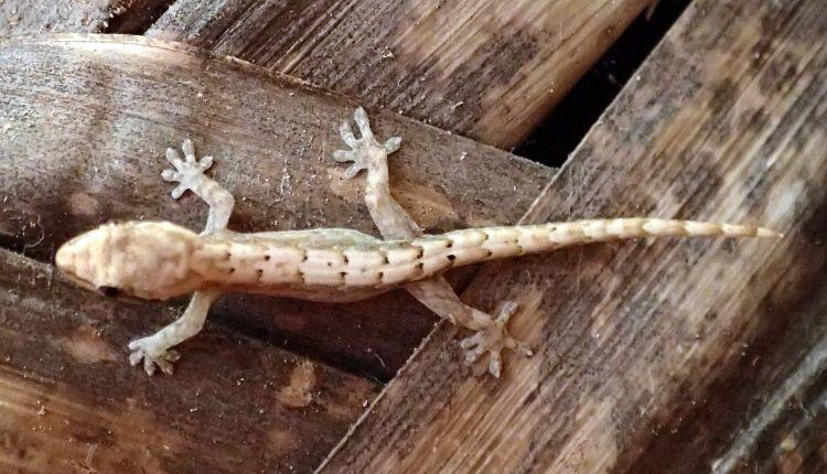 Lepidodactylus lugubris (Mourning Gecko)