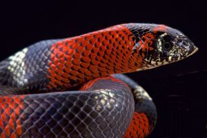 Tri Color hognose snake