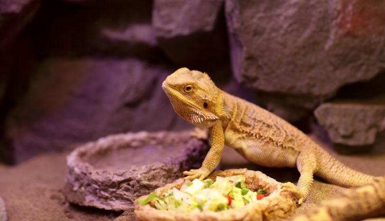 Best Foods for Bearded Dragons