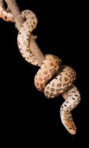 Bull snake on branch