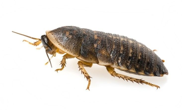 Breed Dubia Roaches FAQ