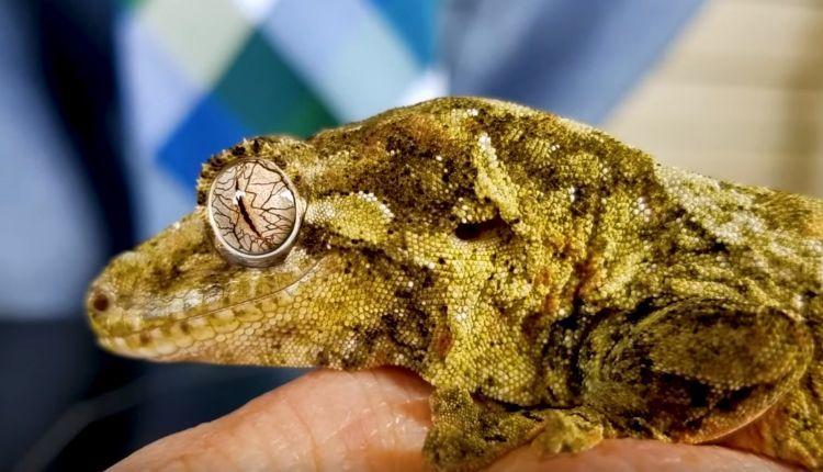 Chewie Gecko