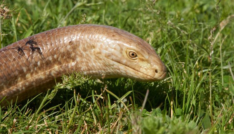 European Legless Lizard