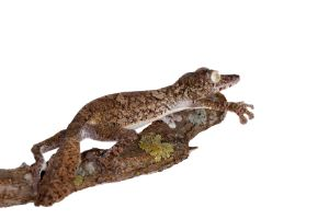 Giant-leaf-tailed-gecko-on-white