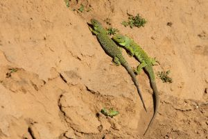 Ocellated Lizards