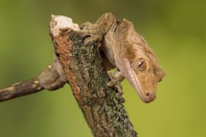 crested-gecko-on-branch