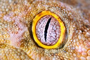 leachianus gecko eye