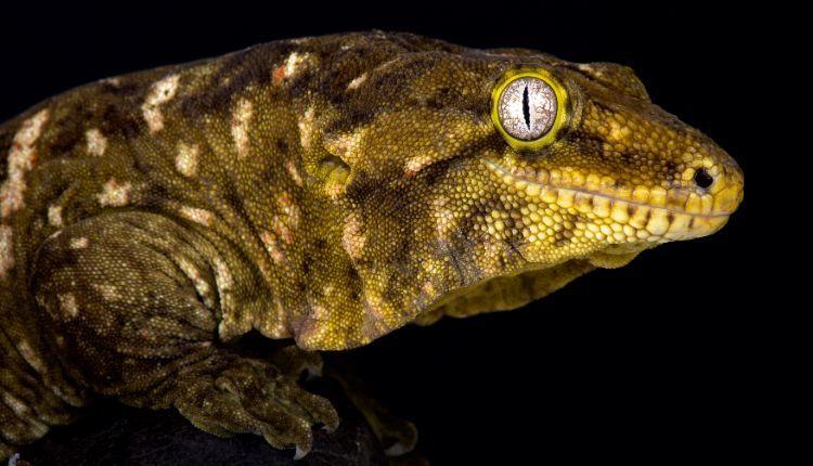 leachianus gecko