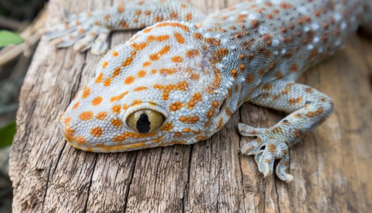 tokay-gecko-on-wood-in-the-garden