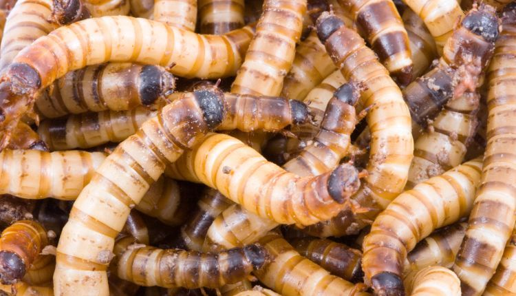 How to breed superworms