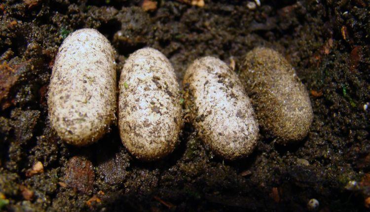 Snake Eggs vs Lizard Eggs vs Turtle Eggs