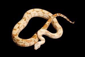 hog island boa constrictor