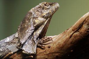 Frilled Agama (Frilled Dragon)
