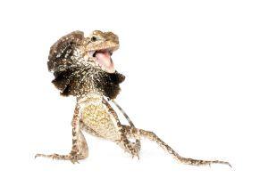 frilled dragon (chlamydosaurus-kingii)