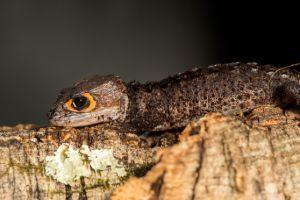Crocodile skink in habitat