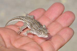 Racerunner Lizard