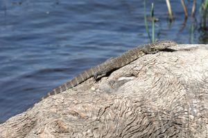 African small-grain lizard (Nile Monitor)