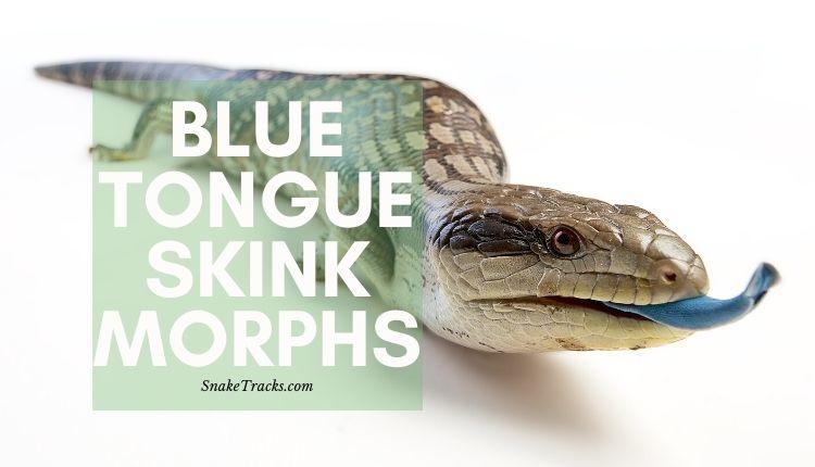 Blue Tongue Skink Morphs