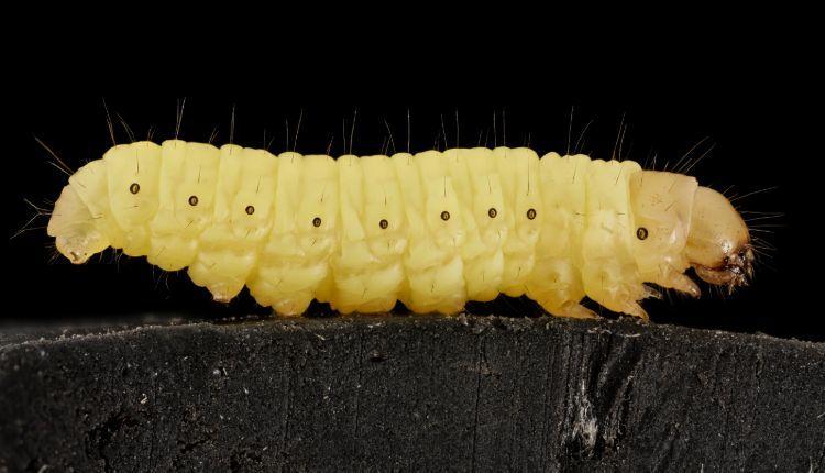 Breeding Wax Worms