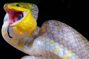 Red Tailed Green Rat Snake in silver phase