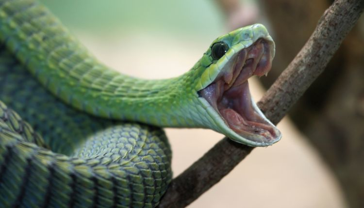 do snakes yawn