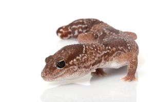 African Fat-tail gecko